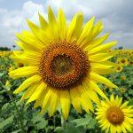 赤い公園 – 黄色い花
